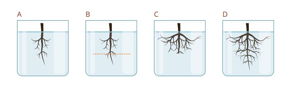 Ilustracja przedstawia 4 naczynia A-D , każde zkorzeniem. Amały korzeń, B- taki sam korzeń zzaznaczoną poziomą linią cięcia. C- korzeń rozrośniety na boki, ale nie wdół, D- korzeń rozrośniety wdół ina boki.