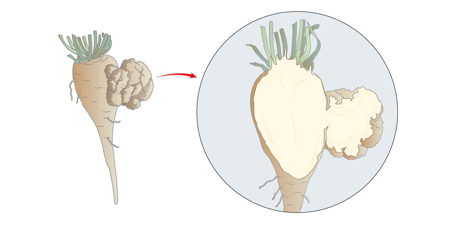 Ilustracja przestawia schematycznie buraka cukrowego zguzem zprawej strony. Powiększenie przekroju ukazuje, że guz zbudowany jest ztej samej tkanki, co roślina, tu wkolorze białym.