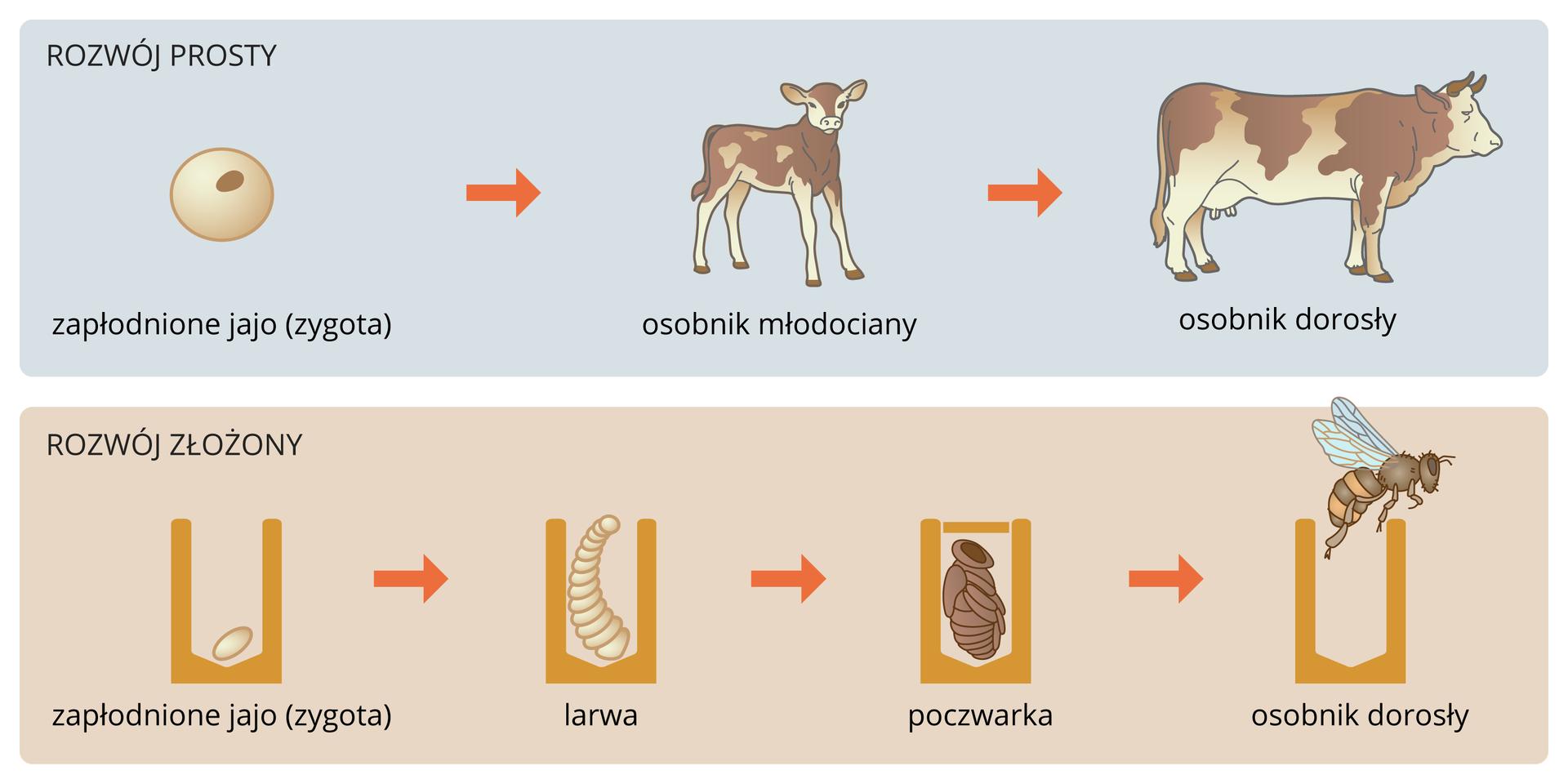 Ilustracja przedstawia porównanie rozwoju prostego izłożonego. Na niebieskim tle ugóry ukazano rozwój krowy od zygoty do osobnika dorosłego. Na liliowym tle udołu przedstawiono rozwój pszczoły wkomórce plastra. Od lewej jest zygota, potem biała larwa, następnie brązowa poczwarka. Na końcu dorosła pszczoła wyfruwa zkomórki plastra.