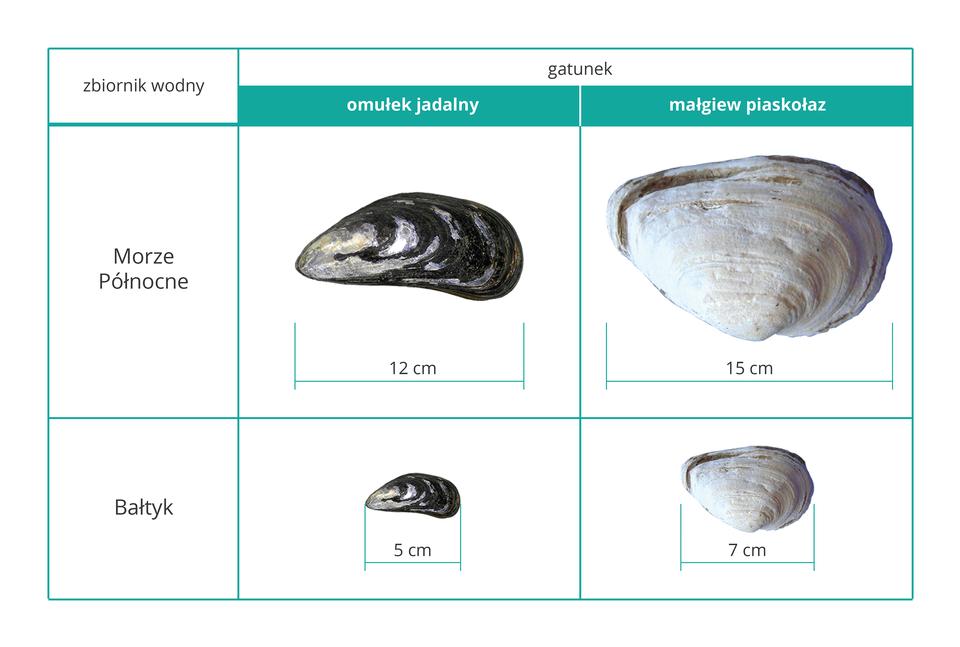 Ilustracja przedstawia cztery fotografie dwóch gatunków małży. Są one ułożone wdwa rzędy po dwie. Rzędy oznaczają dwa akweny: Morze Północne iBałtyk. Małże są podpisane ugóry nazwami gatunkowymi. Mają muszle wróżnych kolorach: czarnym ibiaławym. Pod fotografiami zamieszczono skalę, oznaczającą rozmiar muszli wcentymetrach.