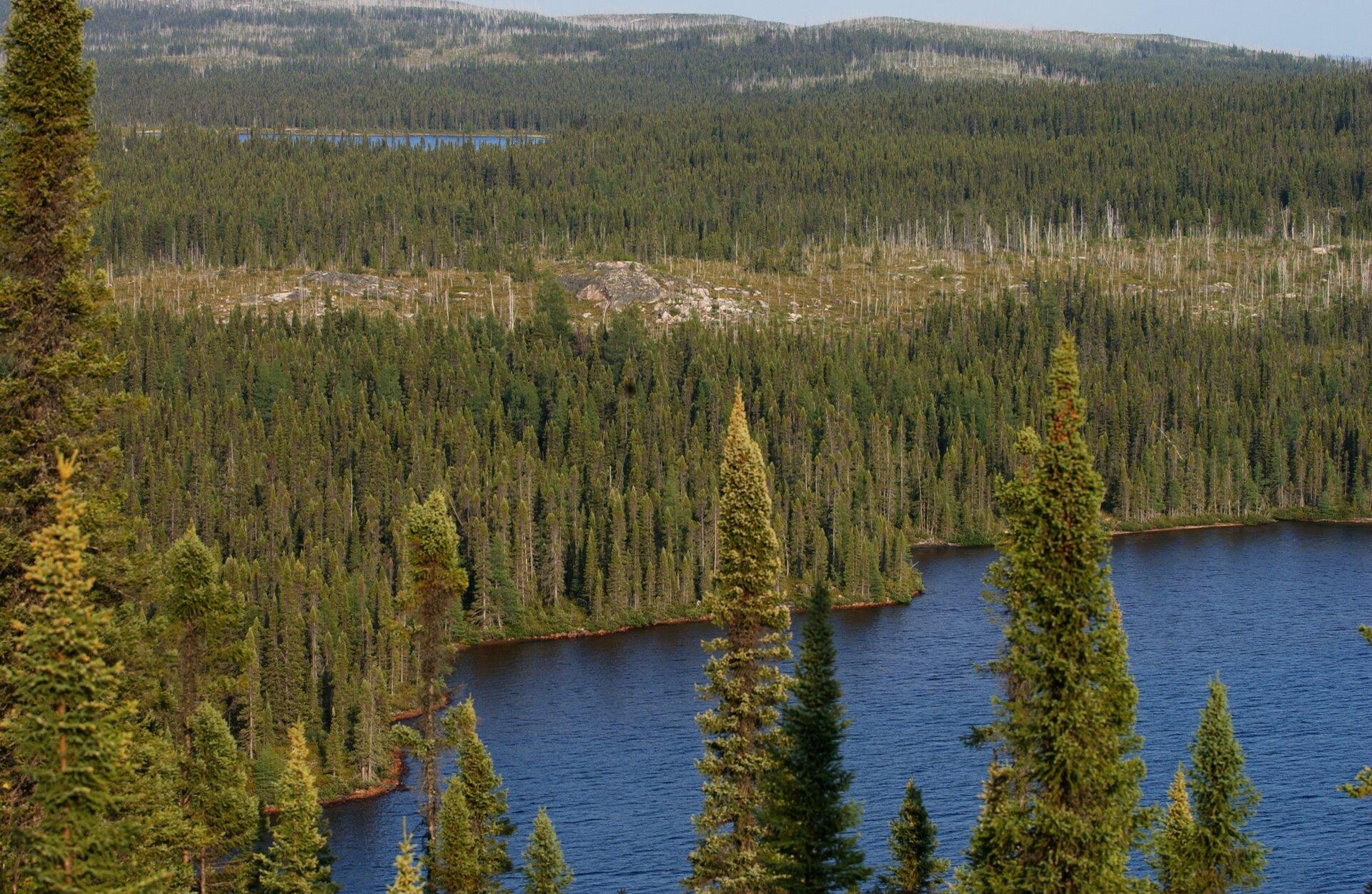 Fotografia prezentuje krajobraz tajgi latem. Na fotografii wykonanej zwysokości widoczne wierzchołki świerków na tle jeziora oraz gęsty las świerkowy rozciągający się po horyzont.
