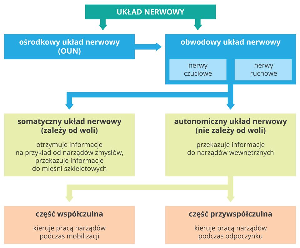 Schemat wformie kolorowych prostokątów przedstawia części układu nerwowego (zielona belka). Są dwie części (niebieskie czworokąty): centralny iobwodowy układ nerwowy, znerwami czuciowymi iruchowymi. Obwodowy układ nerwowy dzielimy na dwie części (beżowe prostokąty). Zlewej somatyczny, zależny od woli, otrzymuje iprzekazuje informacje. Zprawej autonomiczny, niezależny od woli, przekazuje informacje do narządów wewnętrznych. Dzieli się na dwie części (różowe ). Część współczulna kieruje pracą narządów podczas mobilizacji, przywspółczulna jest aktywna podczas odpoczynku.