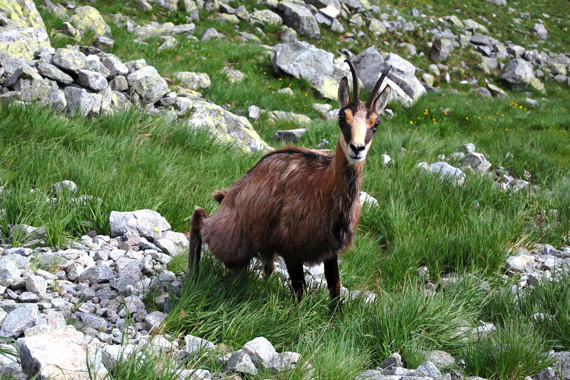 Fotografia prezentuje kozicę na wysokości pietra hal.