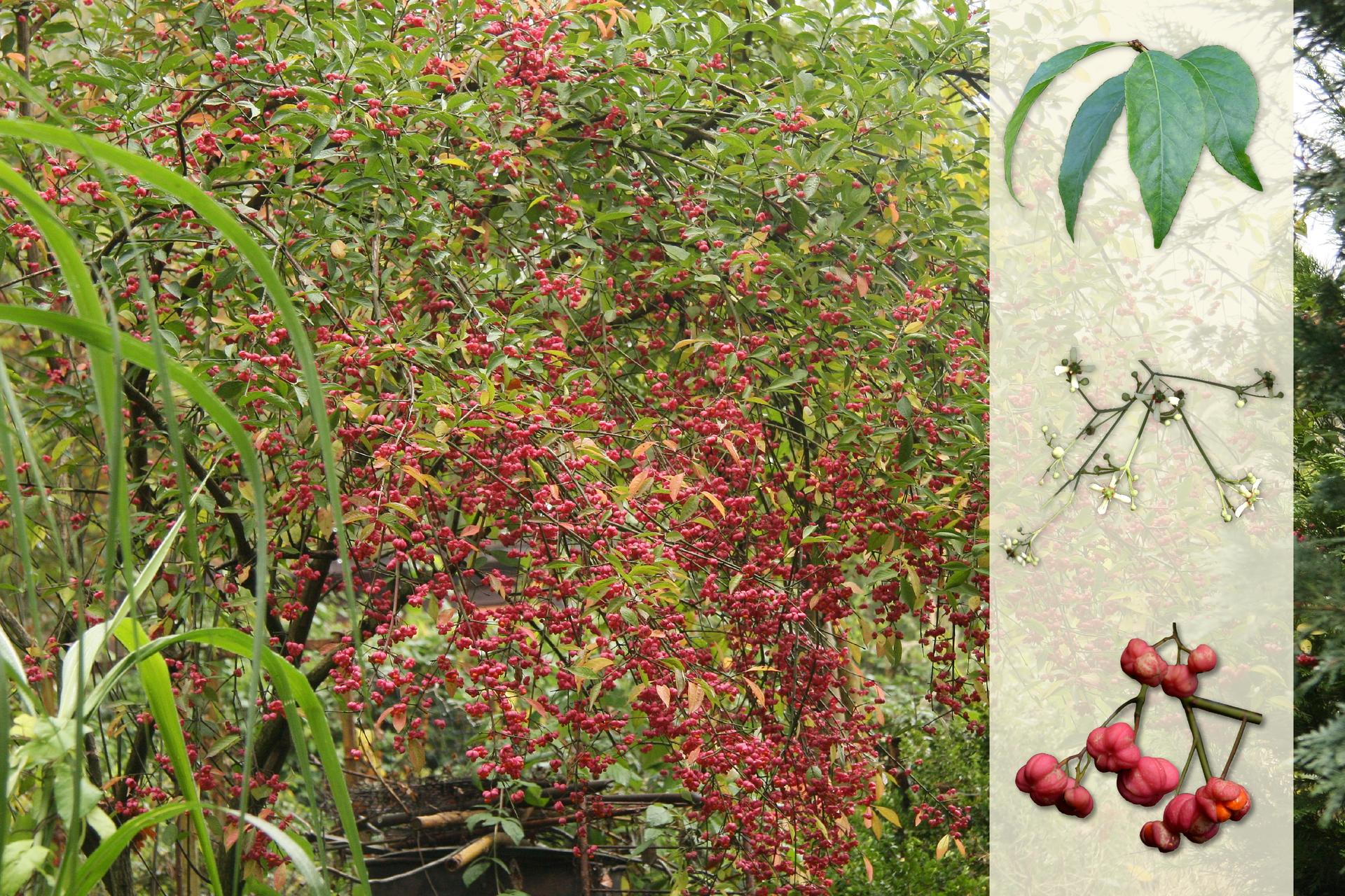 Fotografia przedstawia krzew trzmieliny zciemno różowymi kwiatami. Zprawej strony nałożony jaśniejszy pasek zfotografiami. Ugóry ciemno zielone, wąskie liście. Wśrodku liczne białe iżółtawe kulki – owoce. Udołu gałązka bez liści, zciemno różowymi kwiatami.