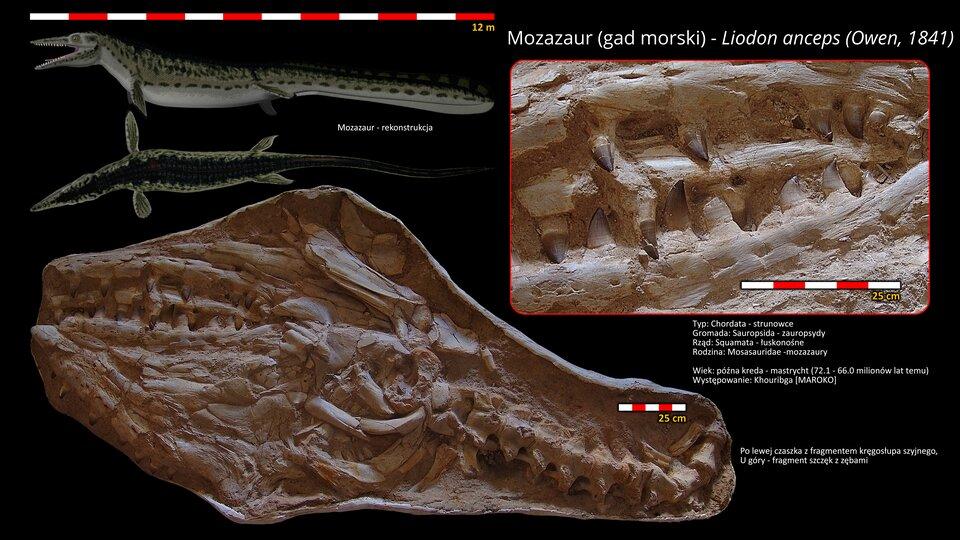 Na ilustracji rekonstrukcja Liodona. Jest to mozazaur – rodzaj wymarłej jaszczurki morskiej. Ma małe płetwy idługi ogon. Mierzy dwanaście metrów długości. Na dole czaszka zfragmentem kręgosłupa szyjnego, powyżej fragment szczęk zzębami. Narysowano podziałki.