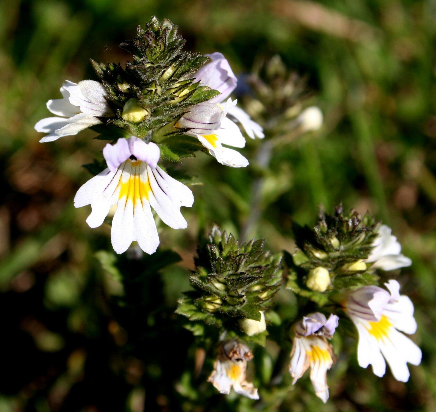 Fotografia przedstawia duże zbliżenie kwiatów świetlika łąkowego. Są grzbieciste, biały płatek dolny zżółtą plamką. Niektóre kwiaty jeszcze wpąkach.
