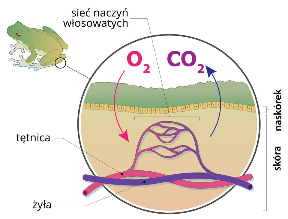 Ilustracja przedstawia wpowiększeniu przekrój przez skórę płaza. Zlewej ugóry sylwetka zielonoszarej rzekotki drzewnej ioznaczenie miejsca powiększenia. Wkółku pod zieloną warstwą wskazane żółte, kropkowane komórki naskórka. Pod nimi wbladoróżowej skórze wrysowane faliste rurki, obrazujące naczynia krwionośne: różowa tętnica iniebieska żyła. Łączą się one siatką naczyń włosowatych. Strzałka różowa znapisem Odwa pokazuje wnikanie tlenu przez skórę do naczyń włosowatych. Strzałka niebieska inapis CO dwa ilustruje usuwanie dwutlenku węgla przez skórę płaza.