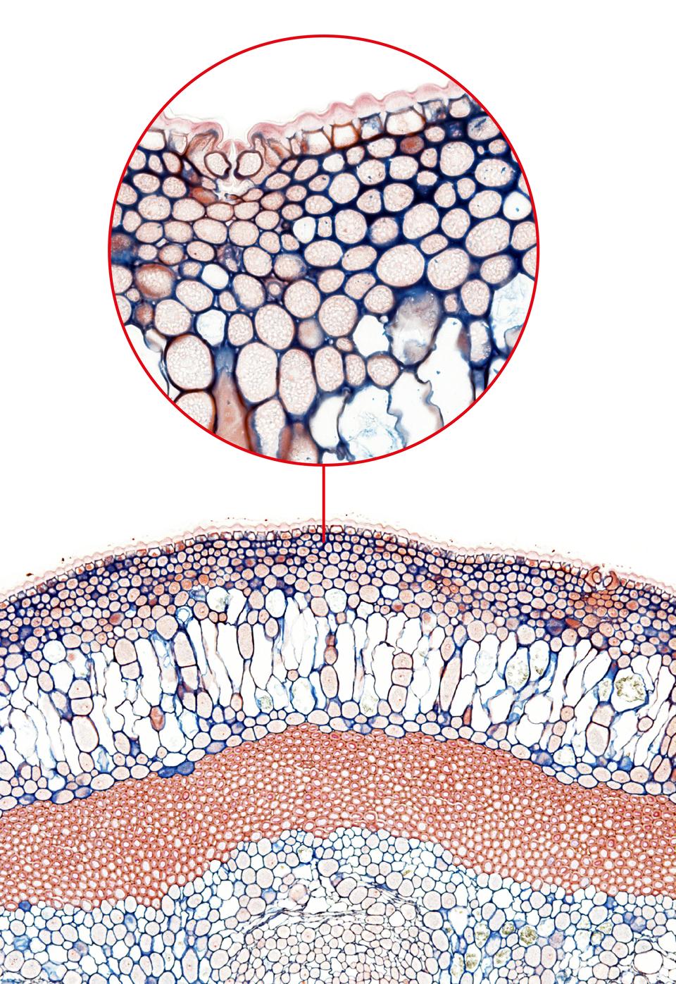 Ilustracja przedstawia na dole fotografię mikroskopową barwionego preparatu przekroju przez łodygę. Ugóry wprzybliżeniu ukazano liczne, przylegające do siebie komórki pod skórką. To zwarcica kątowa.