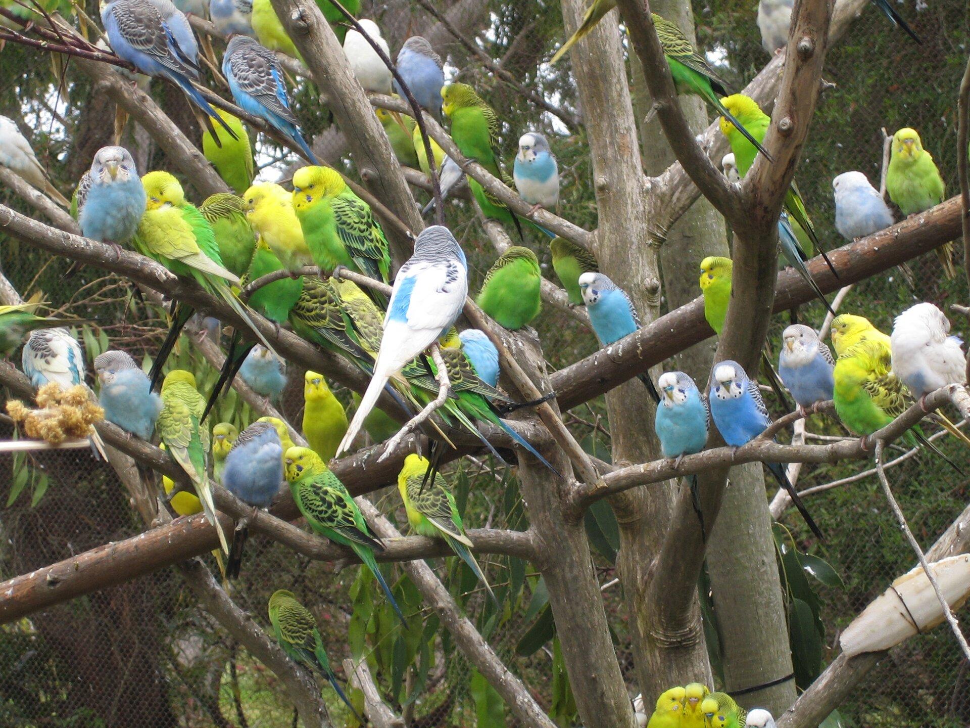 Fotografia przedstawia zielone, żółte iniebieskie papużki faliste,siedzące na drzewie. Ptaki mają różne genotypy iróżne fenotypy (wygląd).