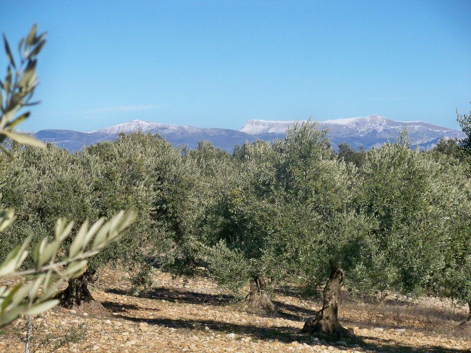 Na ilustracji gaj oliwny. Na pierwszym planie drzewa oliwne, niskie rozłożyste na kamienistej glebie. Wtle wysokie góry, szczyty pokryte śniegiem. Błękitne niebo.