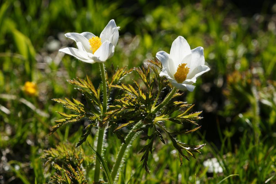 Fotografia prezentuje białe kwiaty sasanki alpejskiej na tle łąki.