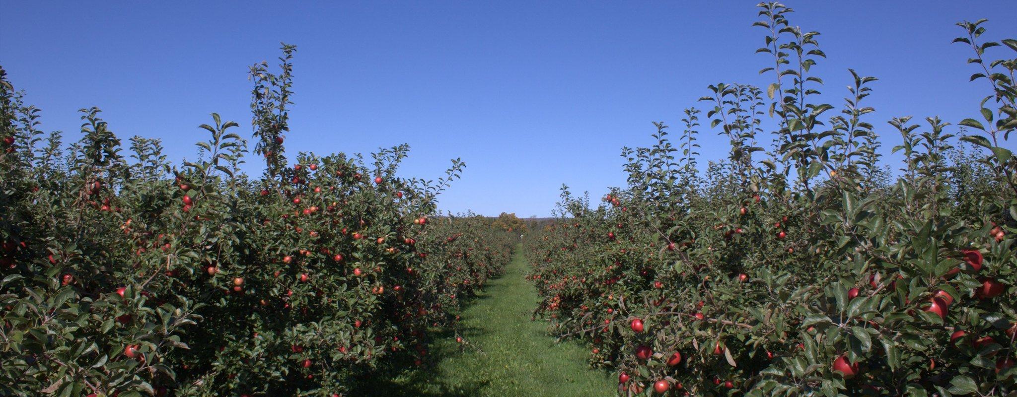 Sad jabłkowy Sad jabłkowy Źródło: MikeyMoose, licencja: CC BY-SA 3.0.