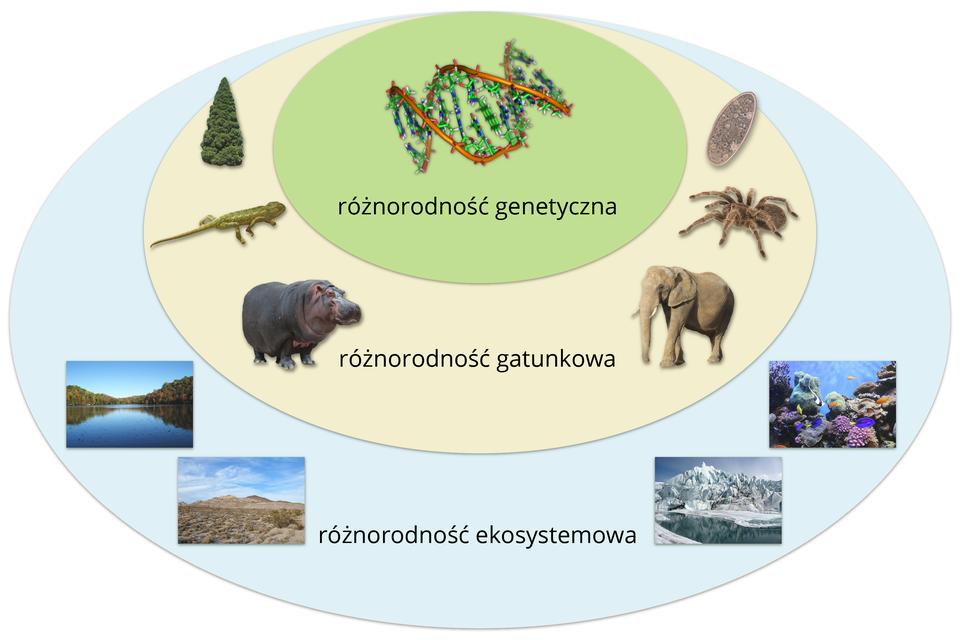 Ilustracja przedstawia trzy owale jeden drugim. Część wspólna dla trzech zpodpisem: różnorodność genetyczna jest ugóry iprzedstawia model DNA. Wwiększym owalu poniżej znajdują się wizerunki różnych organizmów ipodpis: różnorodność gatunkowa. Największy owal reprezentuje różnorodność ekosystemową. Znajdują się tu fotografie różnych krajobrazów.