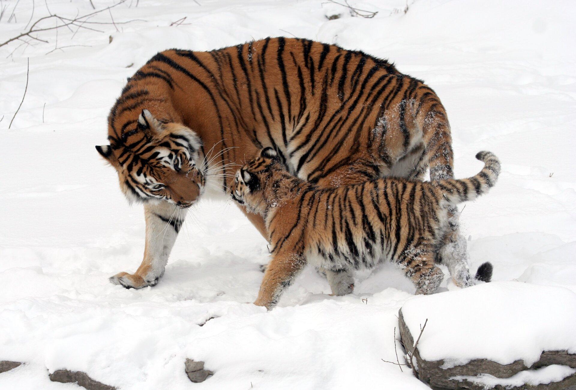 Fotografia prezentuje samicę tygrysa syberyjskiego zpotomstwem. Ciało tygrysa jest okryte rudobrązową sierścią zciemnymi pręgami na całym ciele.