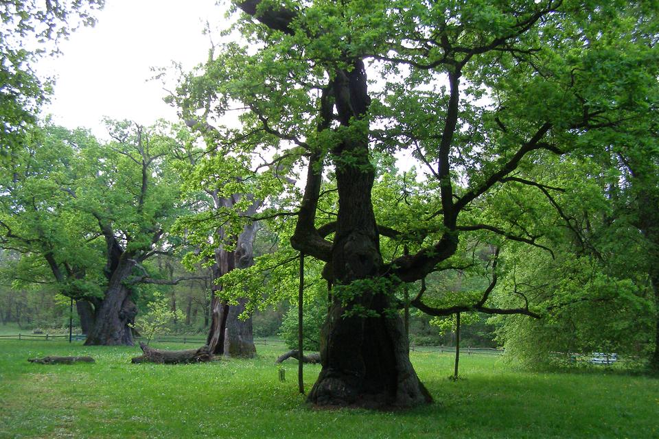 Fotografia prezentuje okazałych rozmiarów, stary dąb znajdujący się wRogalinie pod Poznaniem na Pojezierzu Wielkopolskim.