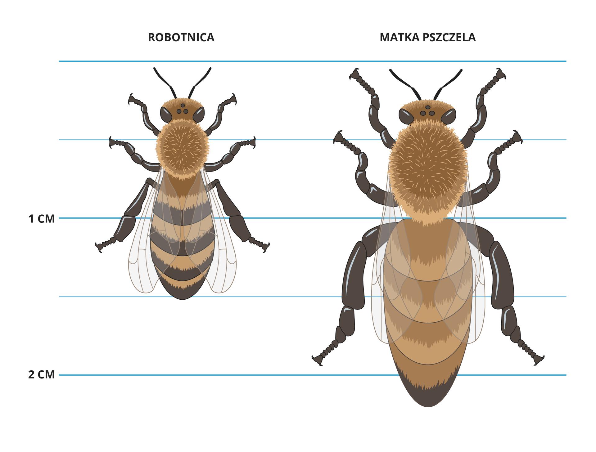 Ilustracja przedstawia pszczołę robotnicę imatkę pszczelą. Matka ma przeszło 2 cm długości, robotnica 1,5 cm.