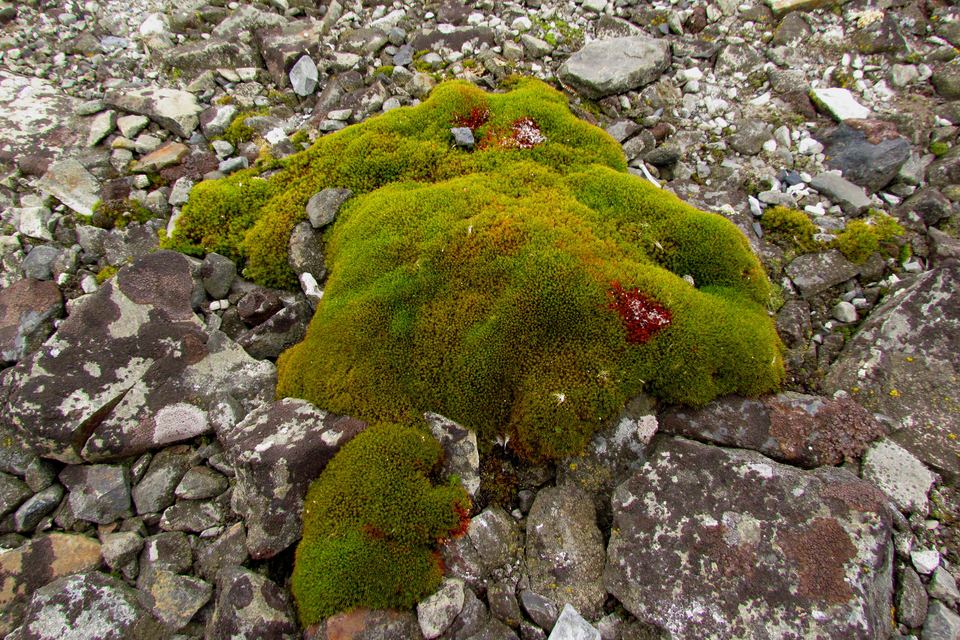 Fotografia prezentuje kępę zielonych mchów na skale. Dookoła mchów widoczne jasno-szare skorupiaste porosty porastające skałę.