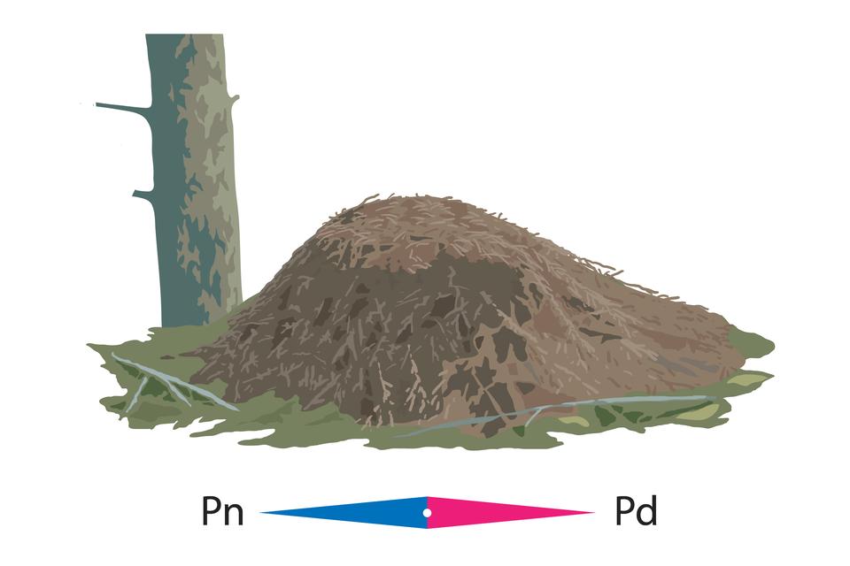 Galeria przedstawia ilustracje sposobów wyznaczania kierunków świata. Na pierwszej ilustracji mrowisko znajduje się po południowej stronie drzewa, ajego stok jest od południa łagodniejszy.