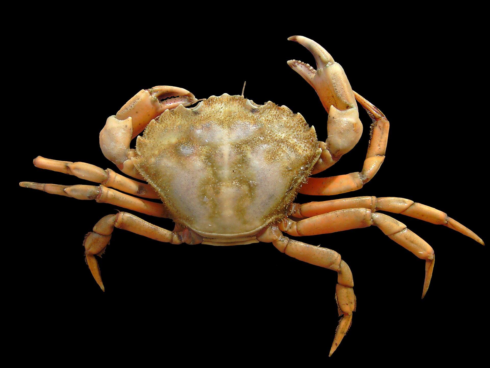 Wgalerii znajdują się fotografie przedstawicieli skorupiaków. Fotografia przedstawia na czarnym tle jasnopomarańczowego kraba. Głowotułów spłaszczony, odwrócony trójkąt. Odnóża spore, szczypce niezbyt wielkie. To raczyniec jadalny zBałtyku.