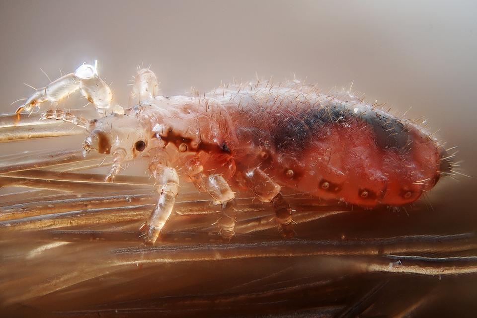 6 – wesz głowowa, owad bezskrzydły