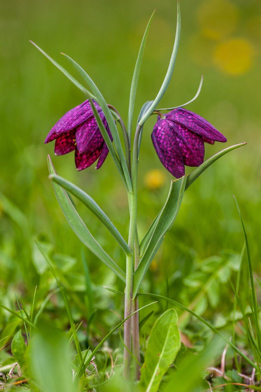 Fotografia przedstawia dwie kwitnące rośliny szachownicy kostkowatej. Na jej fioletowych płatkach znajduje się deseń zróżowych kwadracików. Łodyżki są bladozielone, liście wąskie.