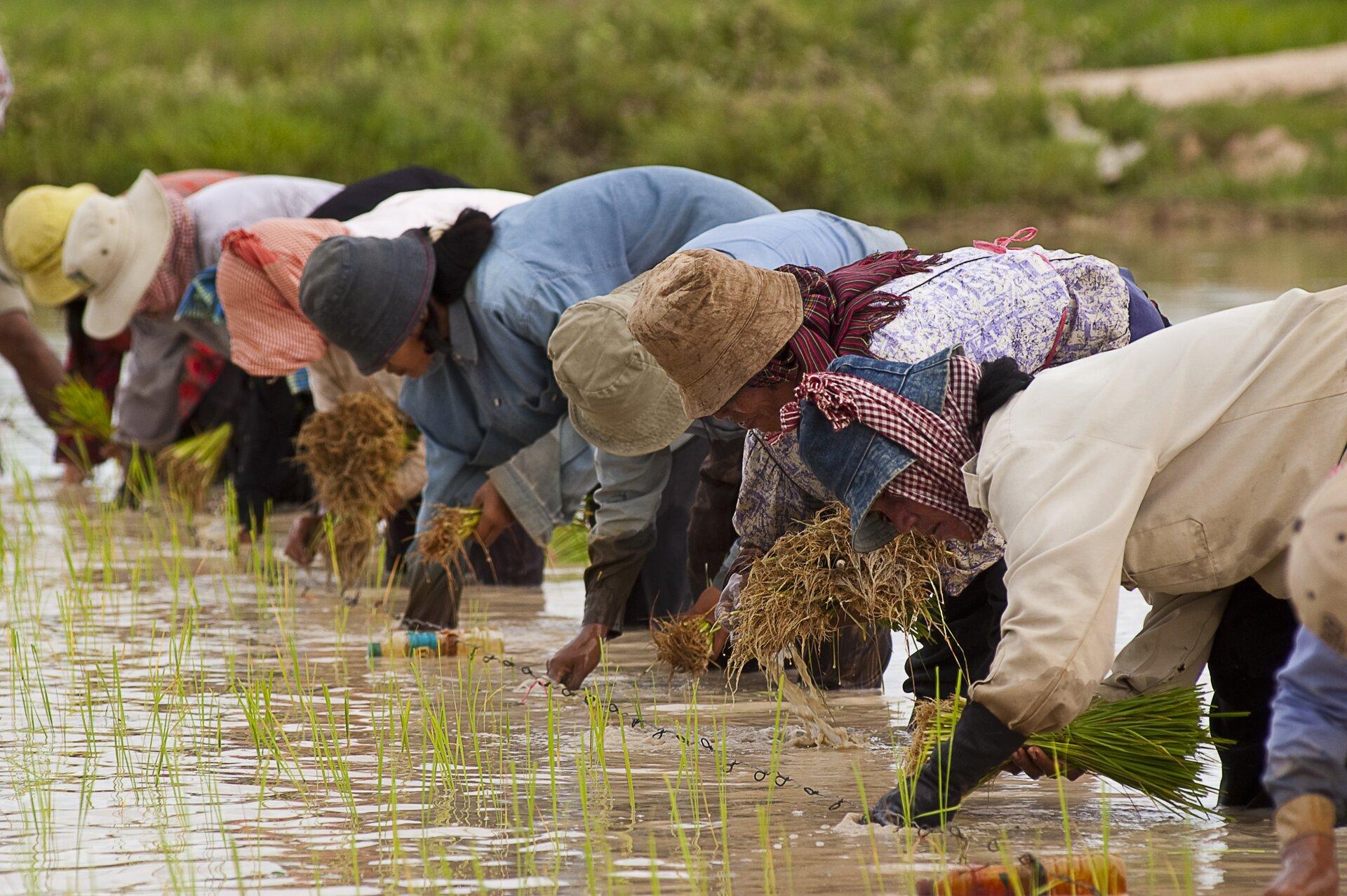 Na zdjęciu kilka osób stoi rzędem wwodzie sięgającej do połowy łydek wschylonej pozycji isadzi ryż.