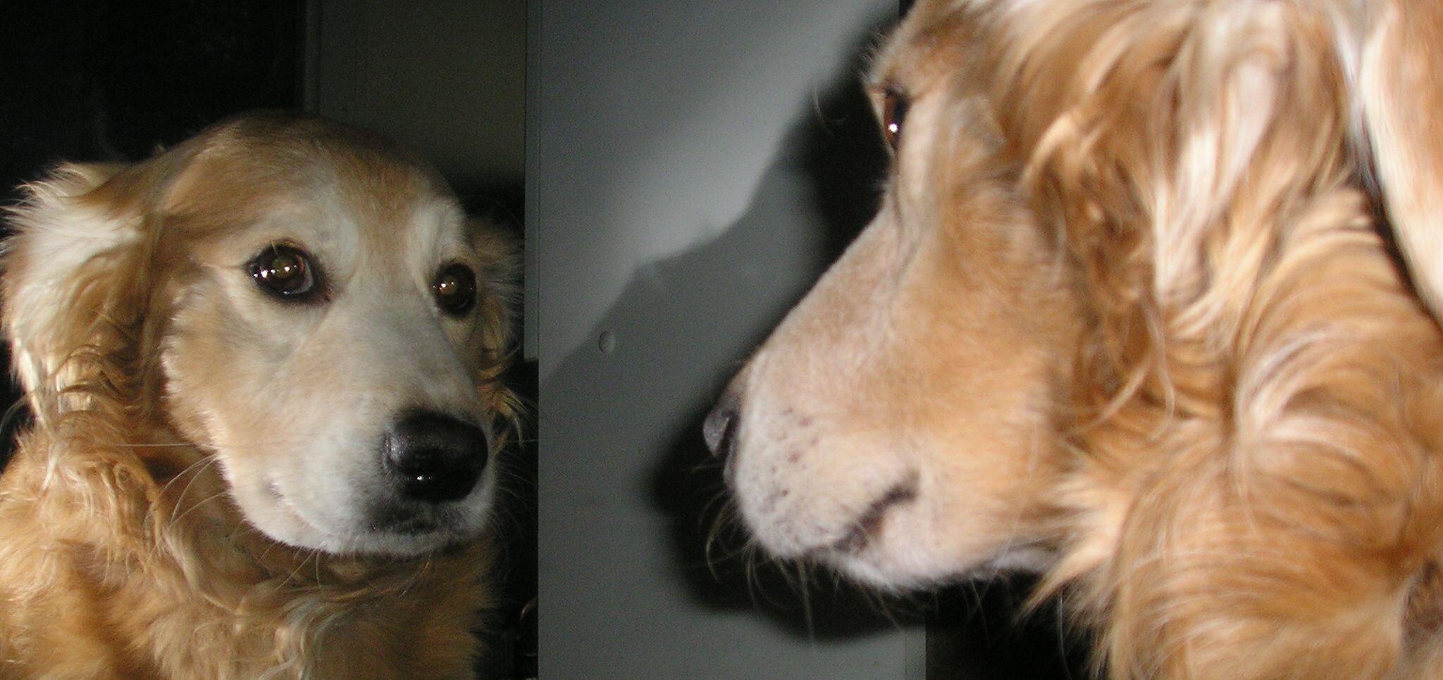 Pies patrzący wlustro Źródło: domena publiczna.