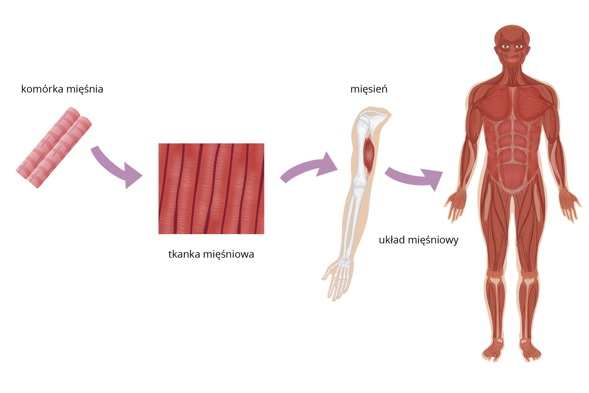 Schemat przedstawiający różne poziomy organizacji organizmu człowieka (komórka, tkanki, narządy, układy narządów)