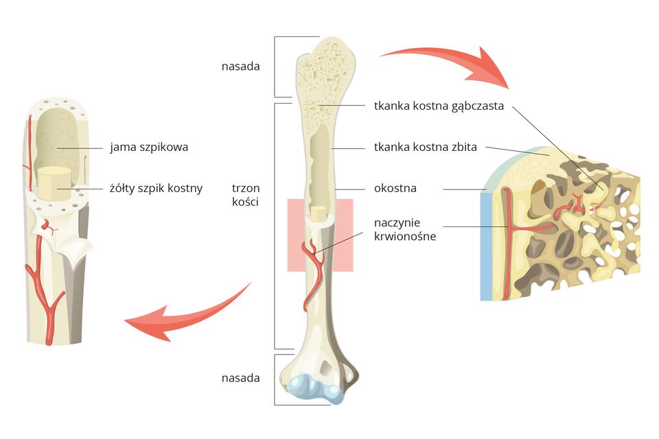 Ilustracja przedstawia pionowo kość długą, znajdującą się wcentrum. Podpisane od góry: nasada, trzon, nasada. Nasada udołu pokryta częściowo błękitną warstwą (chrząstka). Kość ma wyciętą pionowo część górną. Wśrodku fragment, zaznaczony różowym prostokątem. Strzałka wlewo prowadzi do powiększenia zaznaczonego fragmentu. Szary trzon kości zodchyloną wierzchnią warstwą ma na zewnątrz czerwone naczynie krwionośne, przebijające tę warstwę. Wśrodku kości żółty szpik kostny. Wyżej podpisany pusty, ciemniejszy fragment we wnętrzu kości, czyli jama szpikowa. Zprawej strzałka wskazuje powiększony wycinek nasady. Podpisy wskazują te same elementy. Od zewnątrz błękitna okostna, pod nią beżowa tkanka kostna zbita. Tam, gdzie jest wiele ciemniej zaznaczonych otworów ikanalików podpis: tkanka kostna gąbczasta. Wkanalikach czerwone naczynie krwionośne.