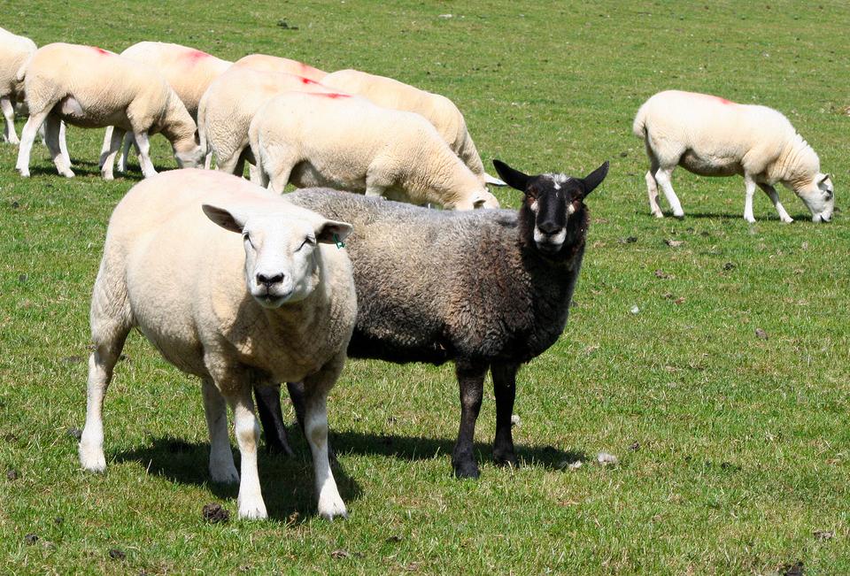 Galeria zawierająca 6 zdjęć prezentujących wybrane zwięrzęra gospodarskie: Owce