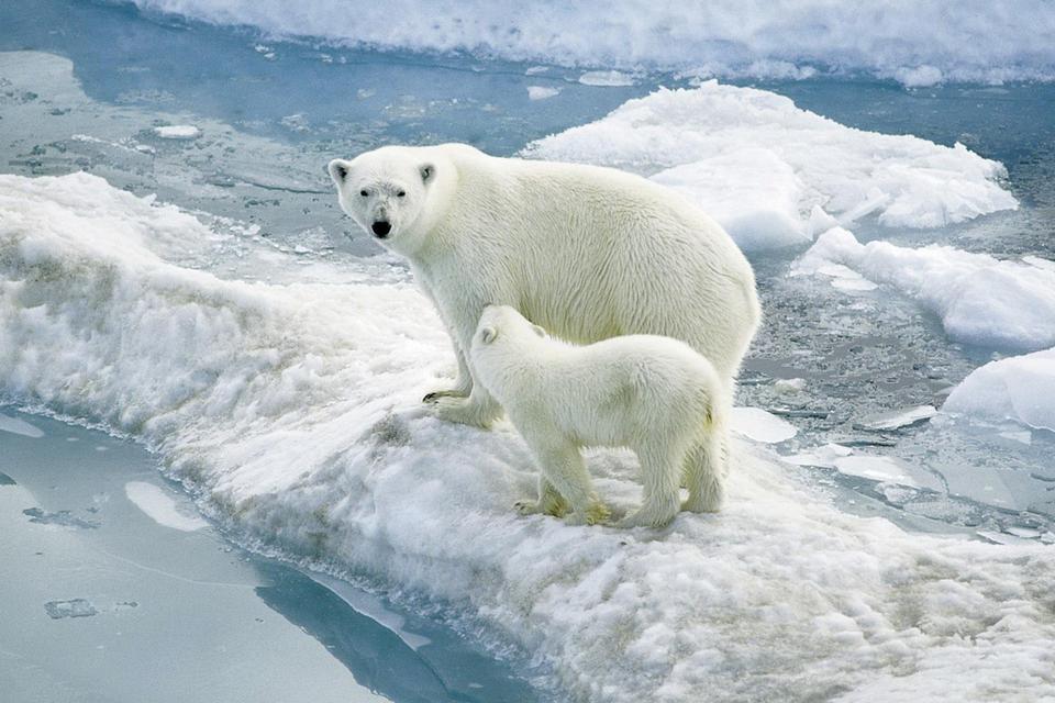 Fotografia prezentuje niedźwiedzie polarne. Duża niedźwiedzica stoi zmłodym niedźwiadkiem na krze pływającej po morzu. Dookoła widać inne fragmenty pływającej kry.