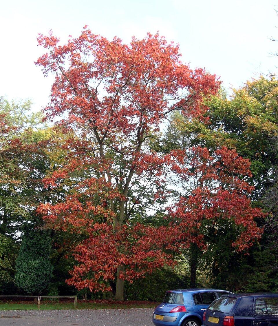Fotografia przedstawia wysokie, rozłożyste drzewo zczerwonymi liśćmi, rosnące przy ulicy. To dąb czerwony.