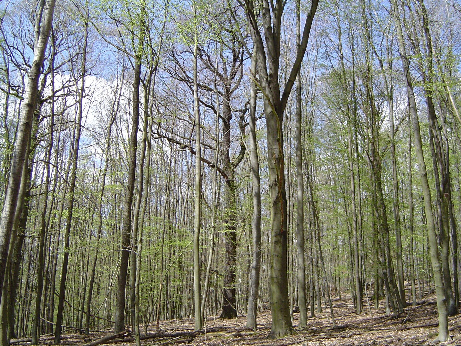 Fotografia przedstawia wnętrze lasu liściastego strefy umiarkowanej wczesną wiosną. Drzewa dopiero pokrywają się delikatnie zielonymi liśćmi. Runo jest suche.