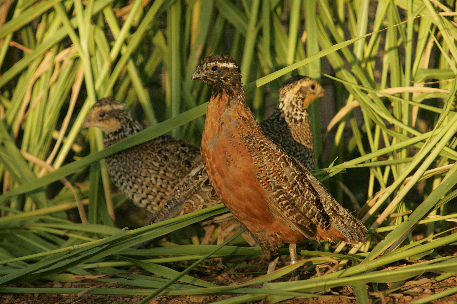 Fotografia przepiórki. Pośrodku widać większego ptaka zciemnymi piórami na głowie, brązowo-szarym grzbietem irudą piersią. Ten ptak to samiec. Za nim znajdują się mniejsze samice, które wcałości są pokryte brązowo-szarymi piórami. Ptaki znajdują się na polu uprawnym.