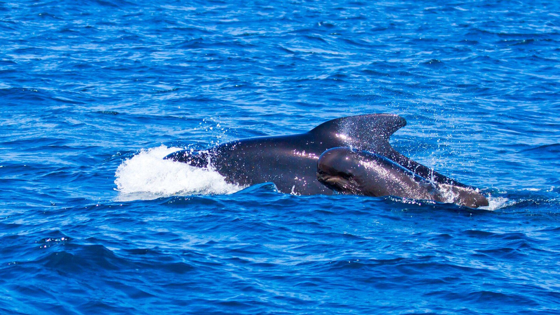 Zdjęcie przedstawia dwa stworzenia morskie przypominające delfiny, pływające wmorzu lub oceanie.
