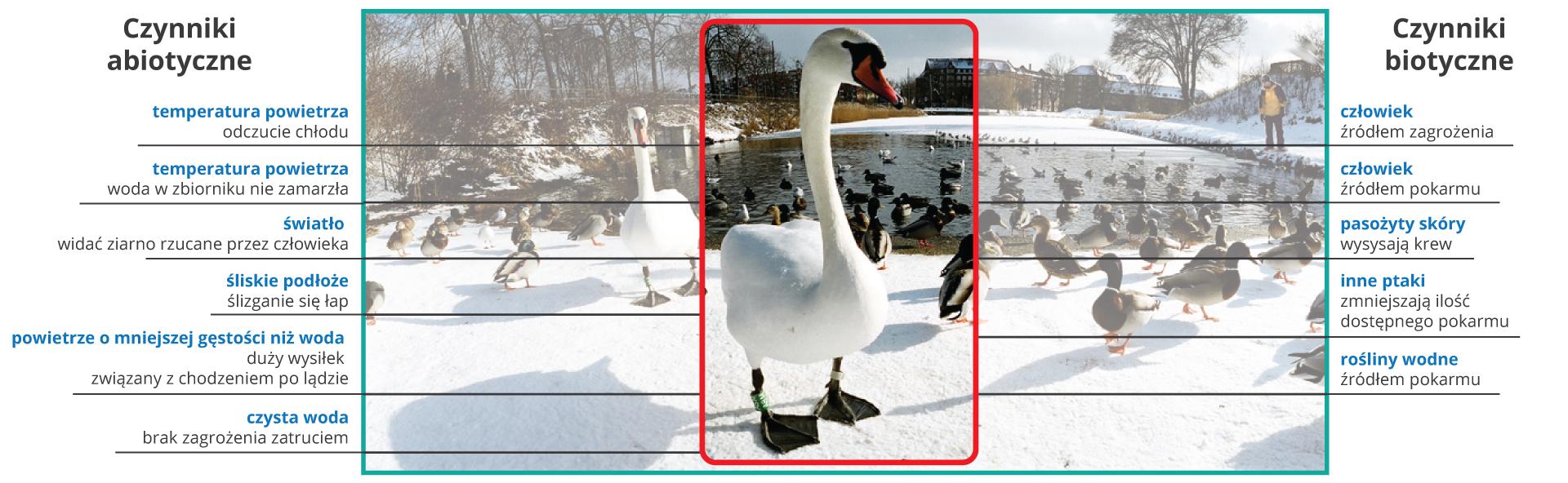 Ilustracja przedstawia brzeg stawu zimą. Na ośnieżonym brzegu zjaduje się stado kaczek iłabędź, wdali widać ludzi. Po prawej stronie wymienione są czynniki abiotyczne, takie jak temperatura powietrza, czy śliskość podłoza, po lewej stronie czynniki biotyczne, takie jak obecność roslin, zagrożenie ze strony człowieka.