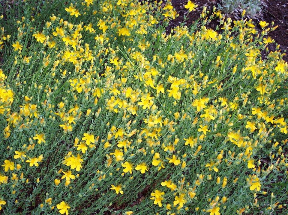 Zdjęcie przedstawia żółte kwiaty rumianku.