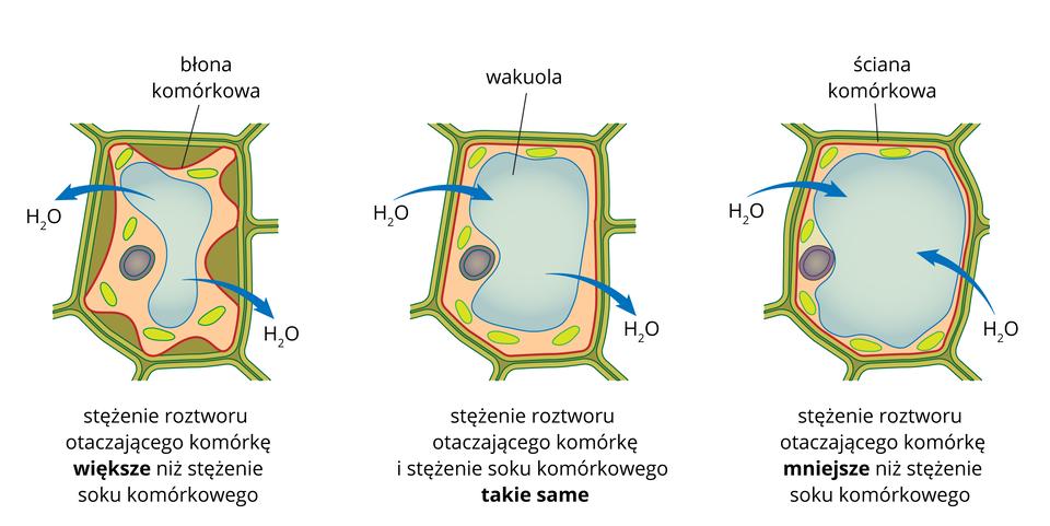 Ilustracja przedstawia 3 komórki roślinne. Pierwsza zlewej strony jest umieszczona wroztworze ostężeniu wyższym niż sok komórkowy. Zkomórki wypływa woda do otoczenia. Druga komórka jest wroztworze otakim samym stężeniu jak sok komórkowy. Nie ma przepływu wody. Trzecia komórka jest otoczona czystą wodą. Woda wnika do komórki.