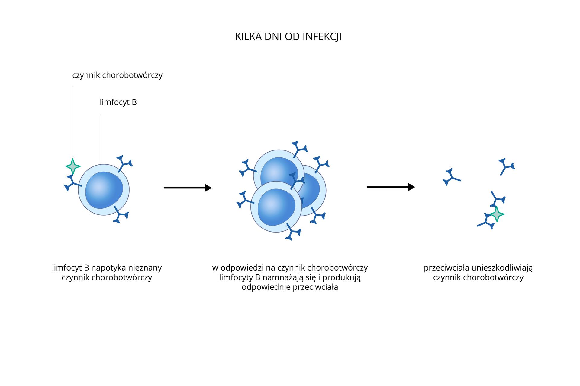 Ilustracja przedstawia drugą barierę ochronną, działająca wkilka dni od zakażenia. Od lewej: niebieski limfocyt Bwypustką łączy się zbłękitnym czynnikiem chorobotwórczym. Następnie limfocyty dzielą się wcelu zwiększenia ich ilości. Strzałka wskazuje, że wytworzone przez limfocyty przeciwciała unieszkodliwiają czynnik chorobotwórczy.