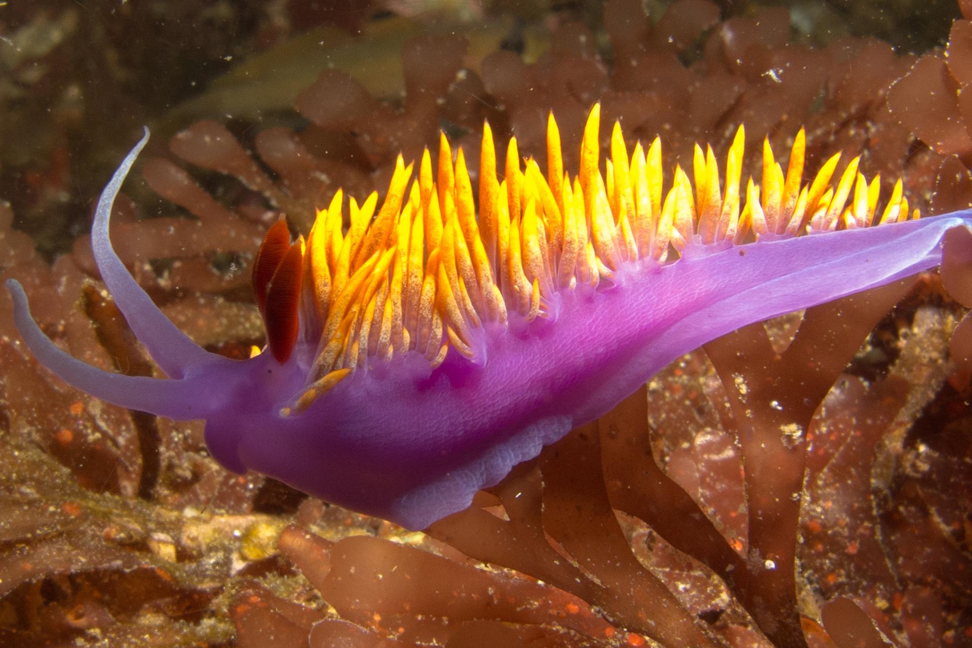 Fotografia przedstawia fioletowego ślimaka morskiego zżółtymi wyrostkami na grzbiecie. Ślimak nie ma muszli. Płynie pomiędzy brunatnymi wodorostami.