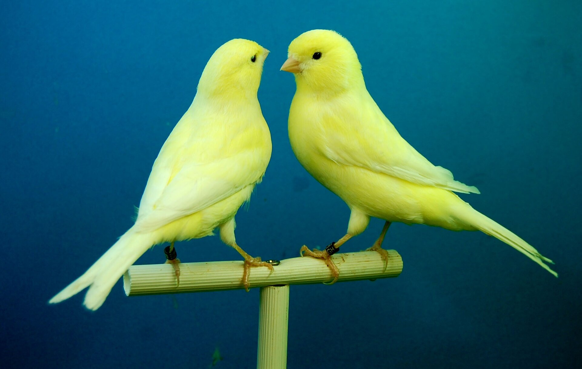 Fotografia prezentuje dwa żółte kanarki zwrócone do siebie istojące na patyku.