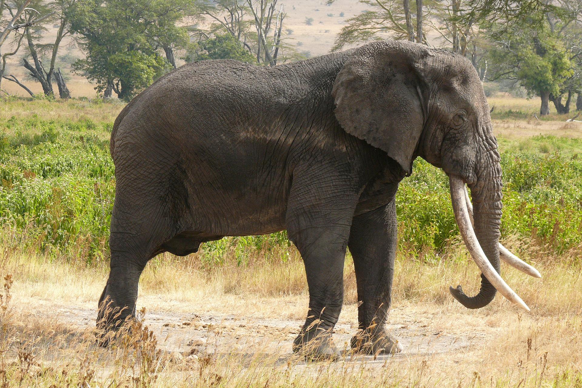 Fotografia przedstawia zboku szarego słonia afrykańskiego na sawannie. Głowa zprawej, zdługą, zwisającą, podwiniętą na końcu trąbą. Od góry przy trąbie wyrastają bardzo długie siekacze, zwane ciosami. Duże uszy przylegają do masywnego tułowia. Słoń stoi na udeptanej ziemi.