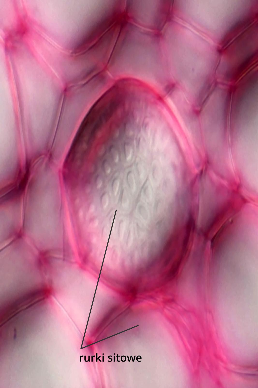 Fotografia mikroskopowa przedstawia sito łyko wdużym zbliżeniu. Komórki są wybarwione na różowo ipodpisane: komórki sitowe.