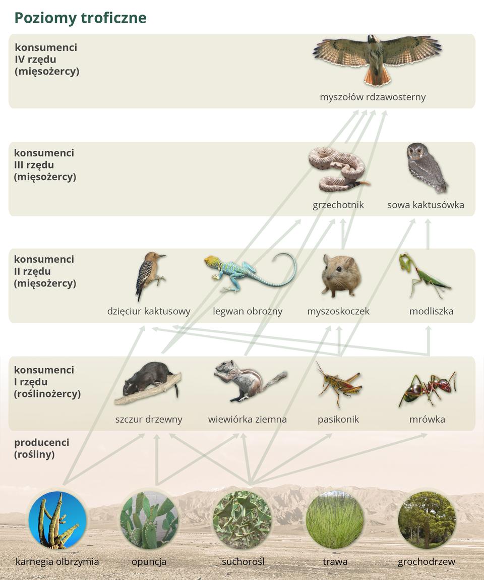 Ilustracja przedstawia organizmy zróżnych poziomów troficznych na tle liliowych pasów. Każdy poziom jest zlewej podpisany iopisany. Od wizerunków roślin wokręgach na poziomie producentów kreski prowadzą do zwierząt na wyższych poziomach. Wten sposób przedstawiono sieć pokarmową pustyni ipółpustyni.