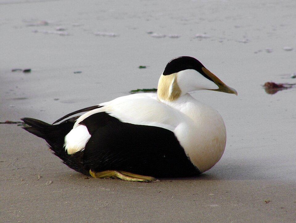 Czwarta ilustracja to kaczka edredon. Szyja ispód głowy ptaka są białe, czoło zielone, pozostałe części ciała szare.