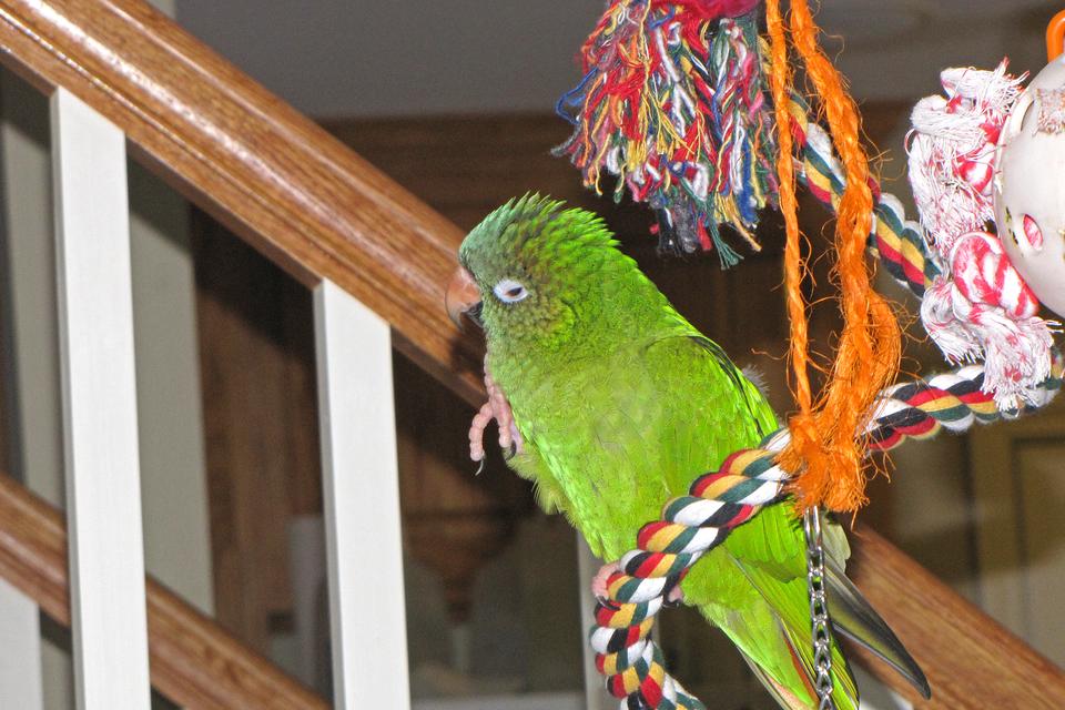 Slajd 6 – prezentuje zieloną papugę podczas zabawy na kolorowym sznurze.
