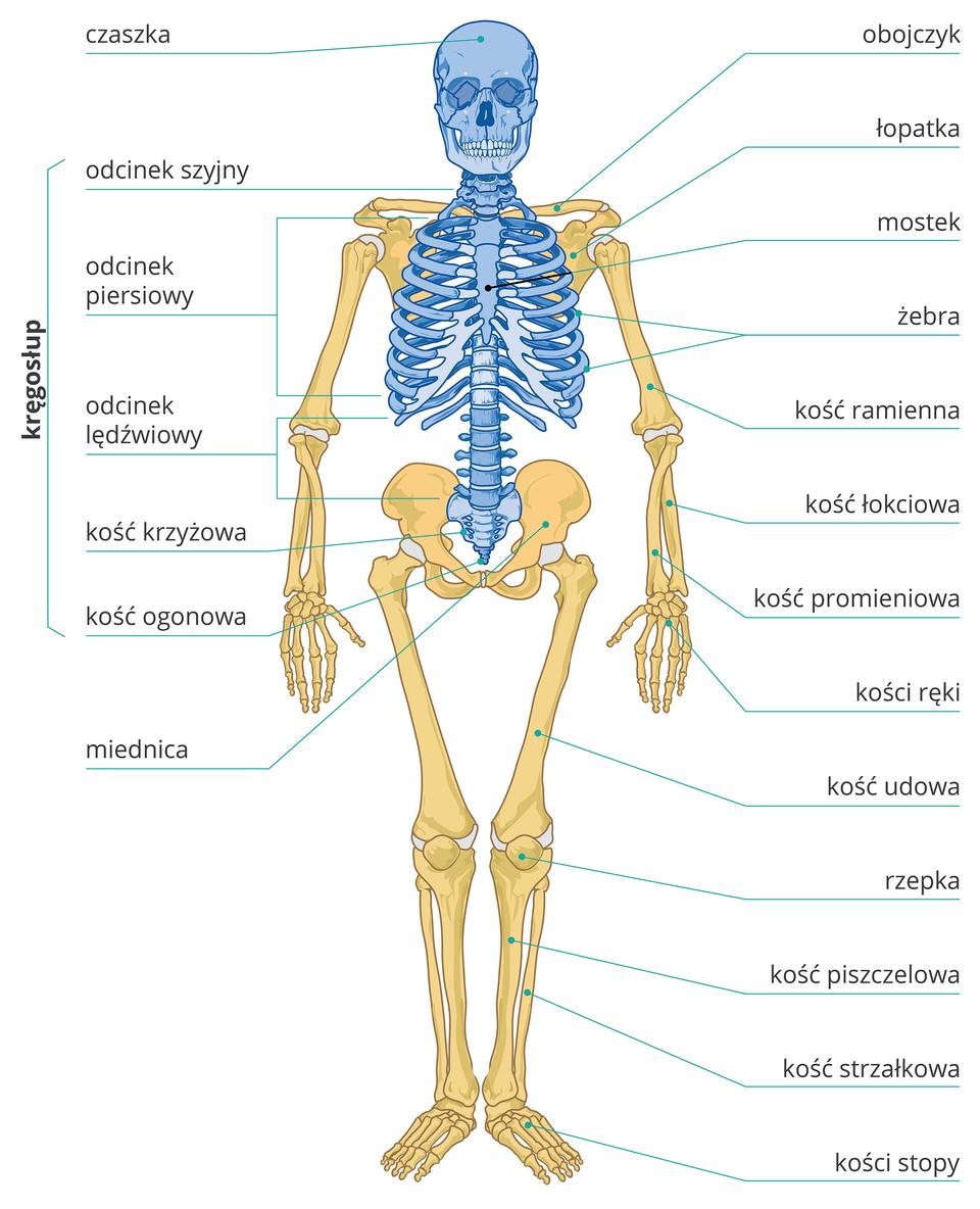 Ilustracja przedstawia żółty szkielet człowieka od przodu, kolorem niebieskim zaznaczono kości szkieletu osiowego. Wjego skład wchodzą: czaszka, kręgosłup iklatka piersiowa. Wkręgosłupie po lewej zaznaczono ipodpisano odcinki: szyjny, piersiowy, lędźwiowy, kość krzyżowa ikości ogonowe. Wklatce piersiowej podpisano mostek iżebra. Pozostałe elementy szkieletu od góry zprawej: obojczyk, łopatka, kość ramienna, kość łokciowa, kość promieniowa, kości ręki, kość udowa, rzepka, kość piszczelowa, kość strzałkowa, kości stopy. Zprawej udołu podpisano miednicę.