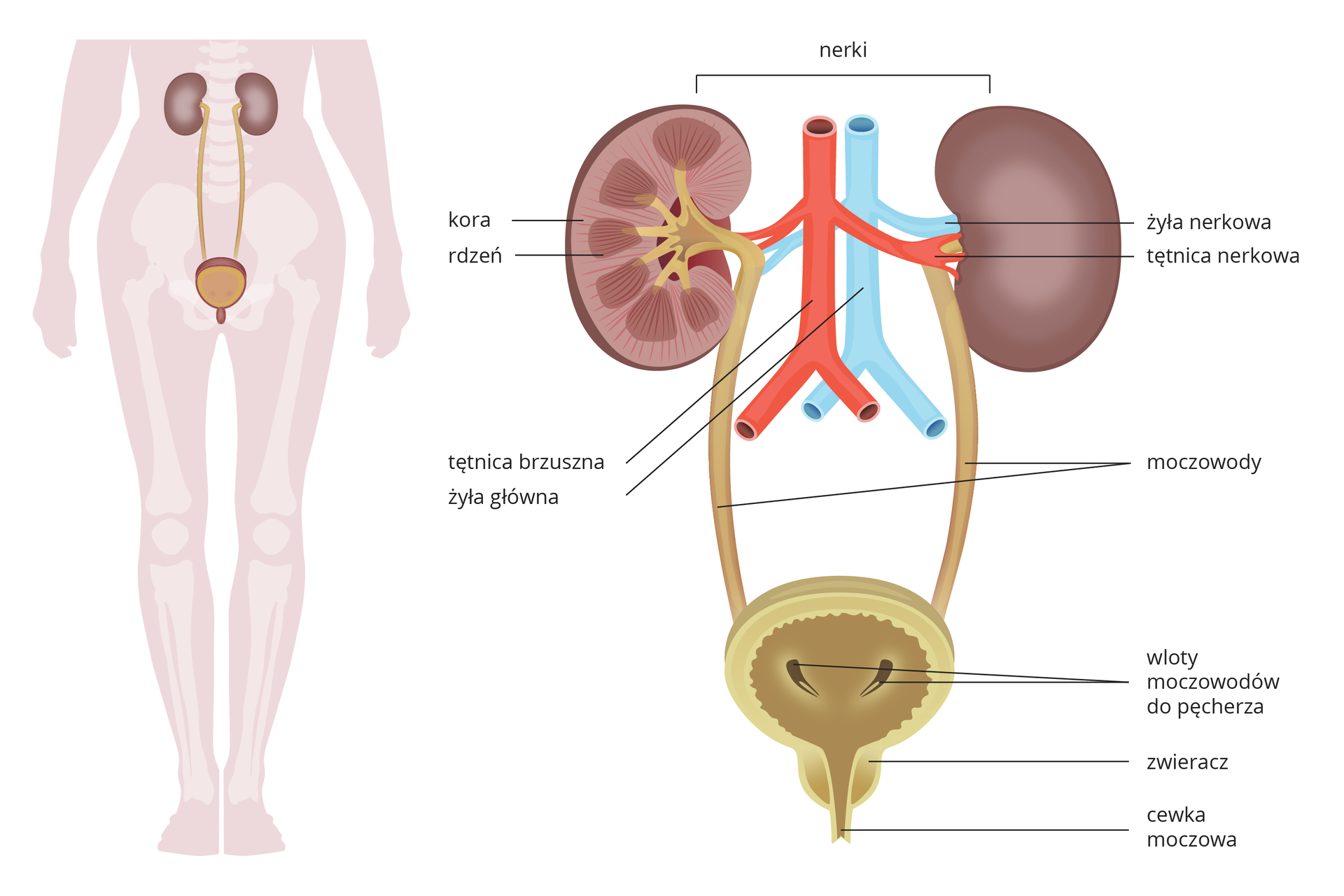 Ilustracja zlewej na sylwetce człowieka przedstawia umiejscowienie narządów układu moczowego. Zprawej przedstawiono budowę narządów. Ugóry dwie fioletowe nerki, jedna wprzekroju. Między nimi niebieska żyła główna iżyła nerkowa oraz czerwona tętnica brzuszna itętnica nerkowa. Na przekroju nerki podpisano jaśniejszą korę iciemniejszy, prążkowany rdzeń. Od nerki wdół beżowe rurki –moczowody, wpadające do okrągłego pęcherza moczowego wprzekroju pionowym. Wskazano zgrubienie udołu pęcherza – zwieracz icewkę moczową.