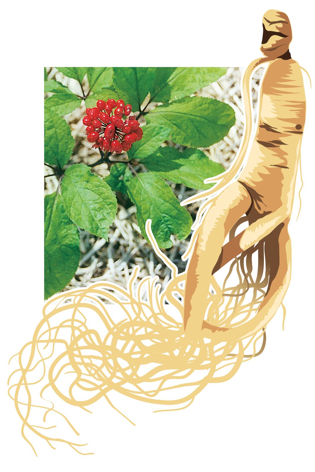 Ilustracja przedstawia fotografię gałązki rośliny zdużymi liśćmi iczerwonymi kulistymi owocami. Obok rysunek jej korzenia wkolorze jasnobrązowym. Korzeń ma kształt podobny do sylwetki człowieka. To żeń-szeń pięciolistny. środowisku naturalnym ijego korzeń.
