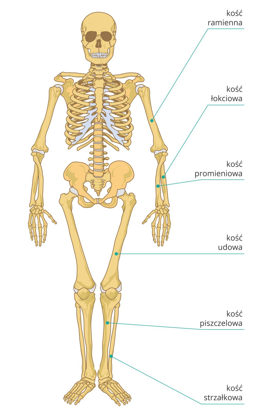 Ilustracja przedstawia szkielet kostny człowieka ustawiony przodem do obserwatora. Najważniejsze inajbardziej narażone na złamanie kości kończyn opisane są po prawej stronie. Wyróżniono sześć kości, licząc od góry: na ręce kość ramienną powyżej łokcia, kości łokciową ipromieniową poniżej łokcia, na nodze kość udową powyżej kolana oraz grubszą kość piszczelową icieńszą kość strzałkową poniżej kolana.